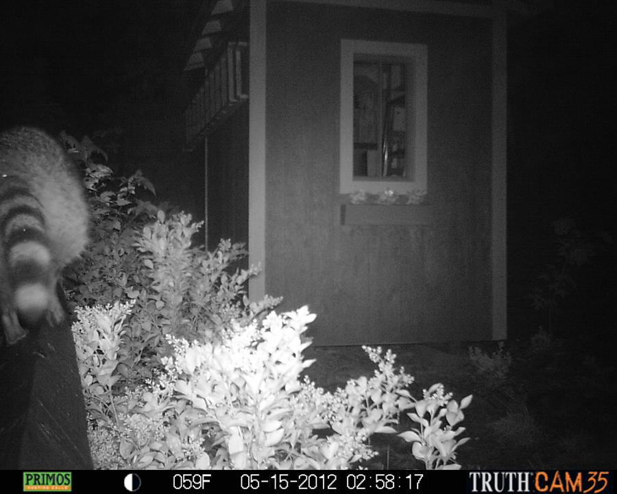 Raccoon walking along the fence