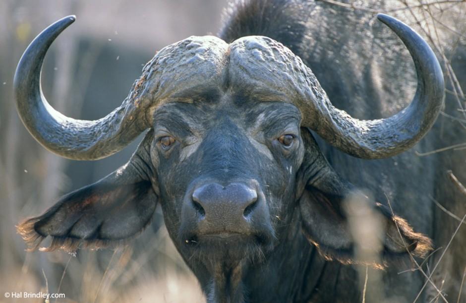 Puedes encontra bufalos en Kruger, y tambien en los billetes de 100 Rand.