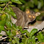 Greater Bushbaby