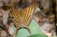 One of many butterfly species around Calakmul