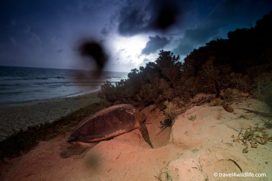 Nesting sea turtle at CESiaK