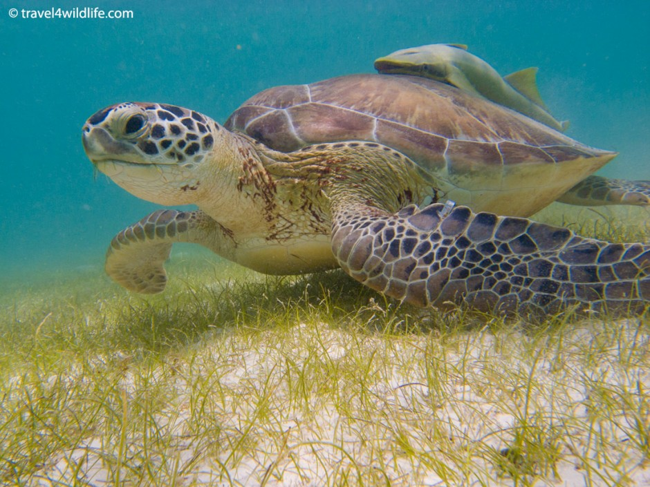 Green Sea Turtle with remora on its back