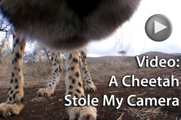 (click to play) Video: A Cheetah Stole My Camera