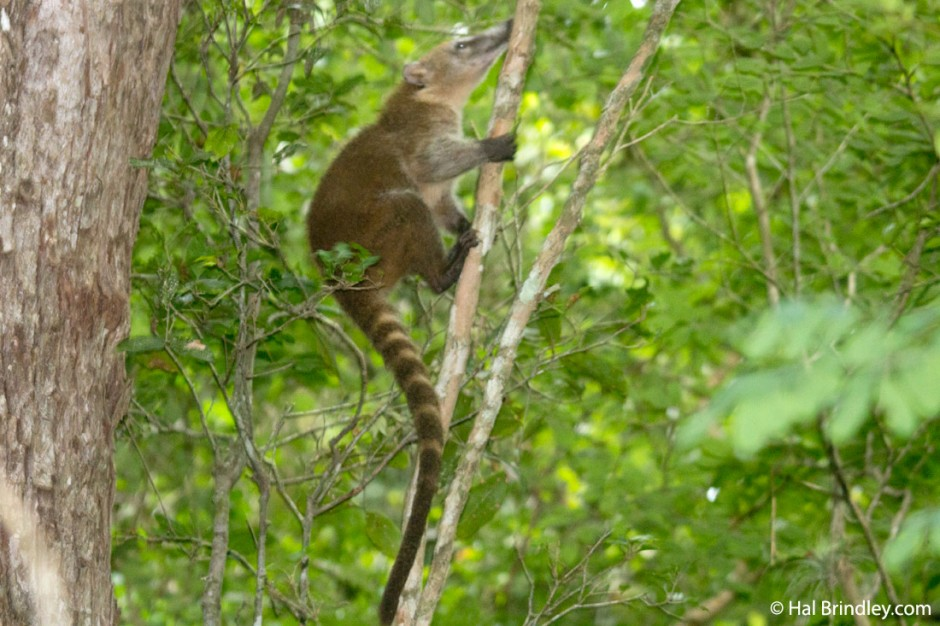 Coati: some of the cutest animals you'll encounter in the forest