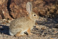 Desert Cottontail, Boulder City, Nevada