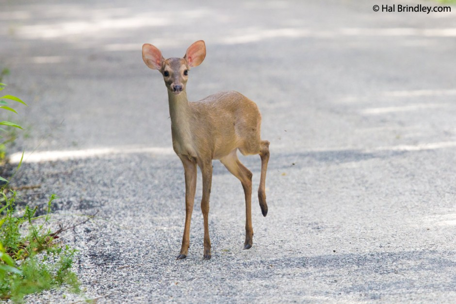 Juvenile Brown Brocket Deer near Calakmul