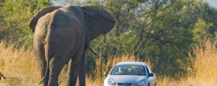 Should an elephant confront you on the road, put the car in reverse and back up slowly.