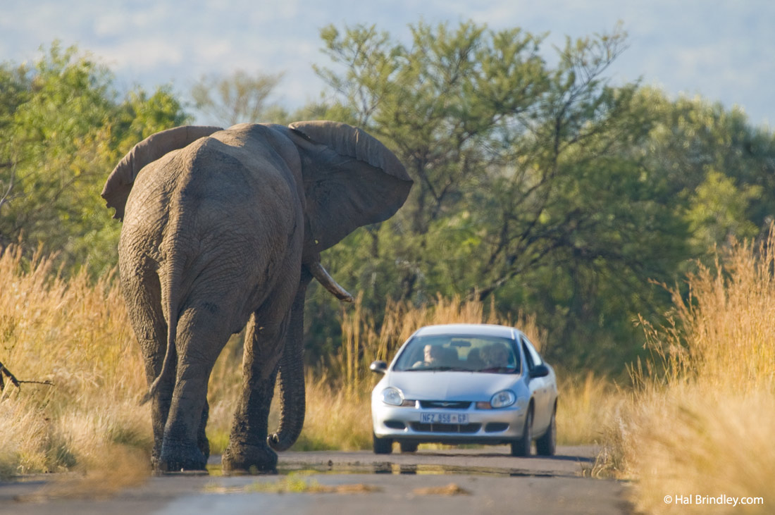 Not to do on a self drive safari: to get too close to an elephant