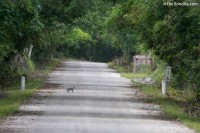 Keep an eye on the road: Gray Fox
