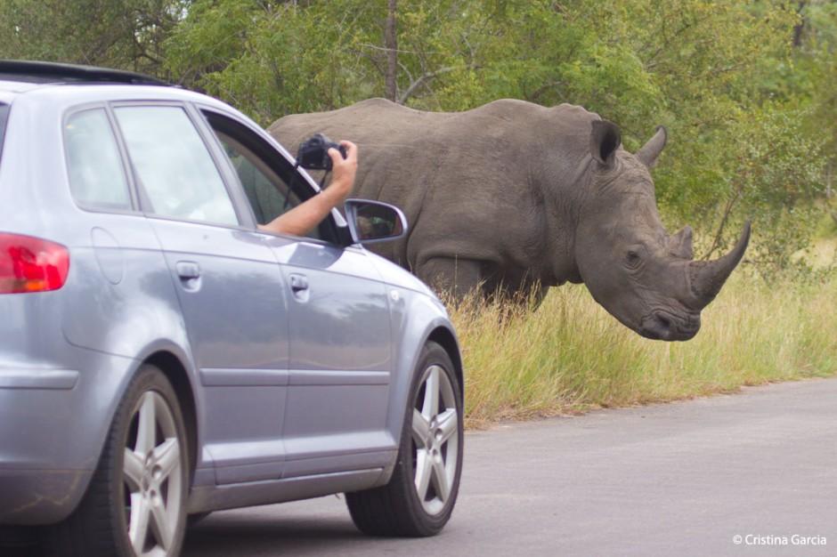 Si, hay animales peligrosos en Kruger, como este rinoceronte blanco. No salgas del coche.
