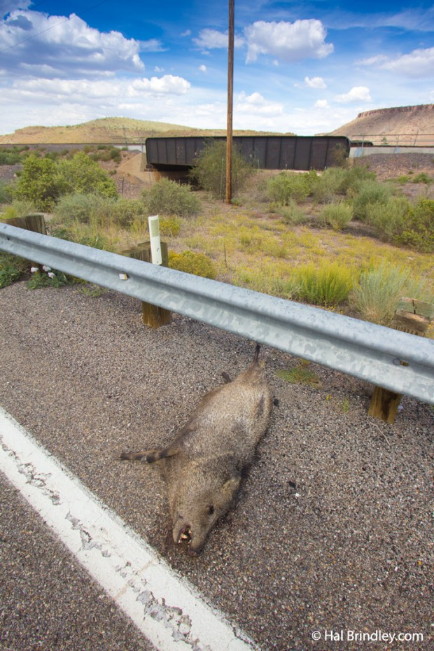 Road-killed Javelina (Peccary) on Route 66 near Valentine, Arizona