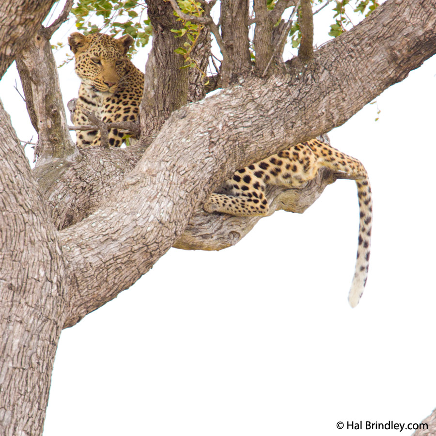 Leopard resting on a tree, Kruger