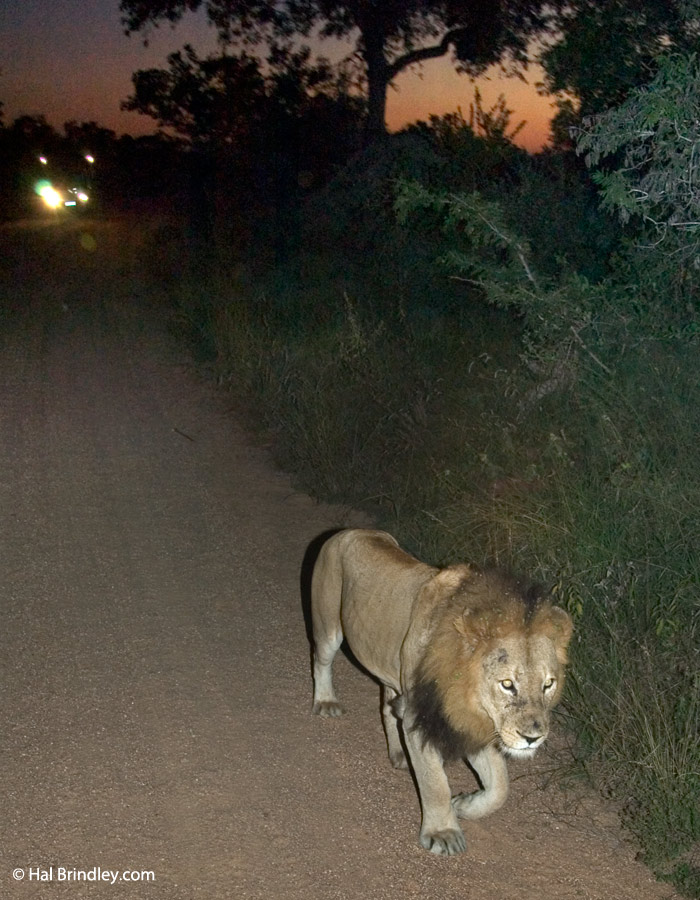 Your best chance of observing lions in action is on a night drive in Kruger.