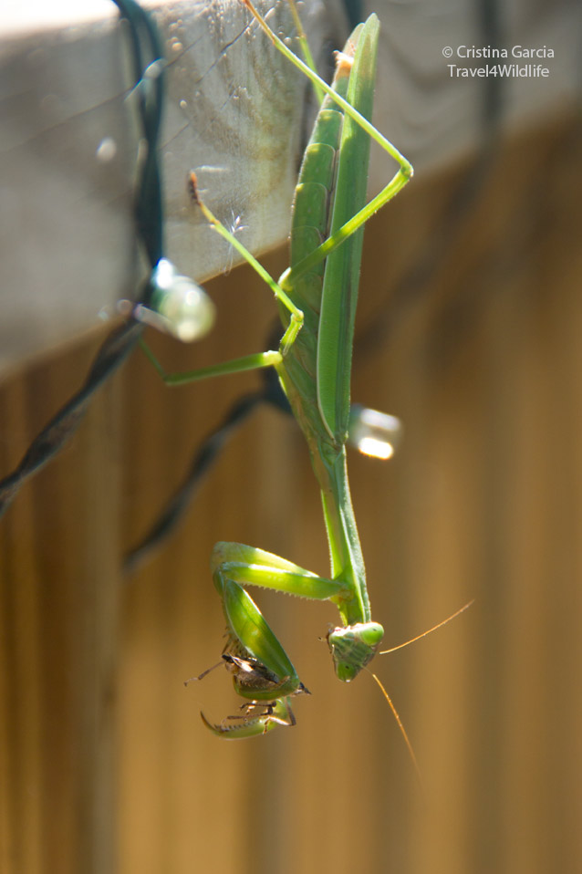 Female Chinese mantis showing the six abdominal segments