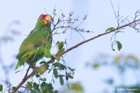 White-fronted Amazon Parrot