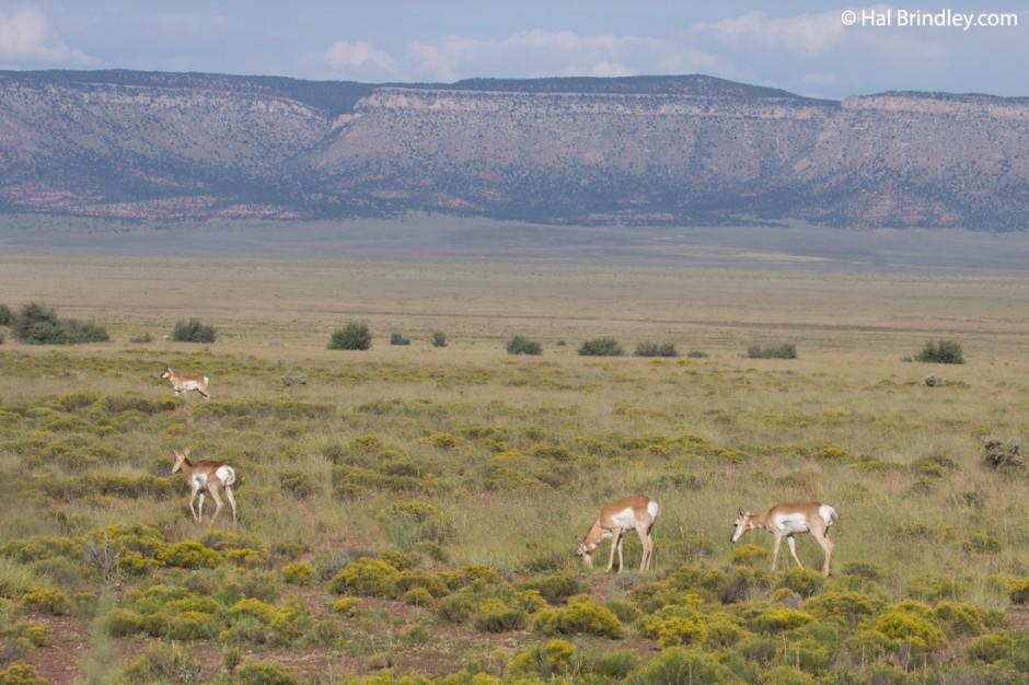 Pronghorns in the open plains of northern Arizona.