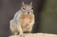 Rock Squirrel, Grand Canyon, Arizona