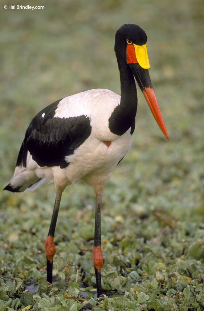 See the endangered Saddle-billed Stork at a waterhole during a safari in Kruger
