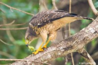 Juvenile Gray Hawk eating an insect
