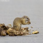 Tree Squirrel (eating nuts from elephant poo)