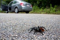 Mexican Red-rump Tarantula in the road