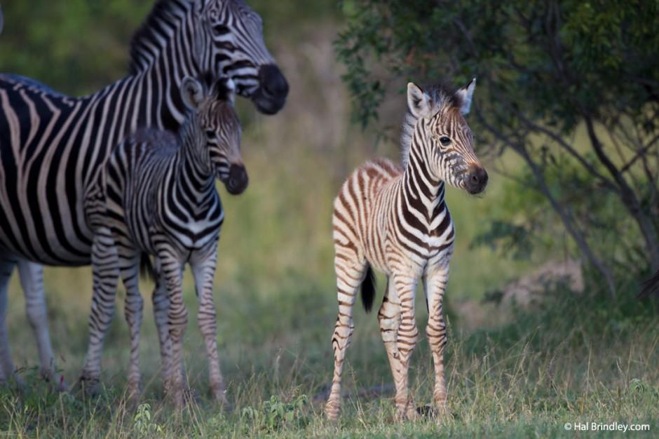Crias de zebra durante la estacion de las lluvias.