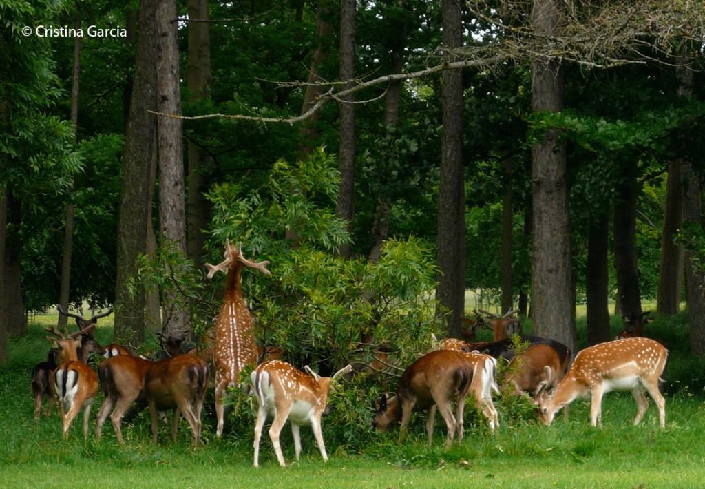 Fallow deer foraging at Phoenix Park