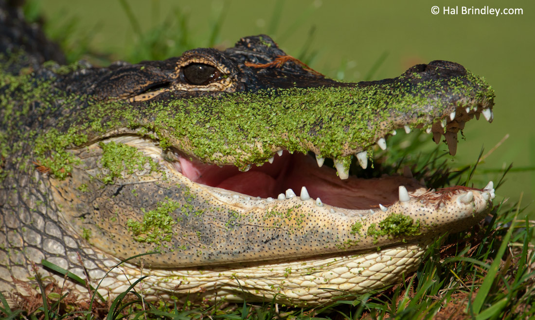 The American Alligator has made a stunning comeback in the Florida Everglades.
