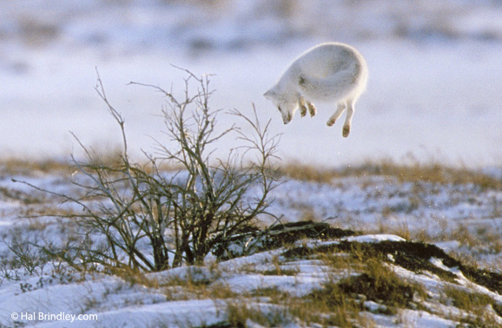 Wait patiently and you might see an arctic fox pouncing.