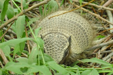 Large hairy armadillo