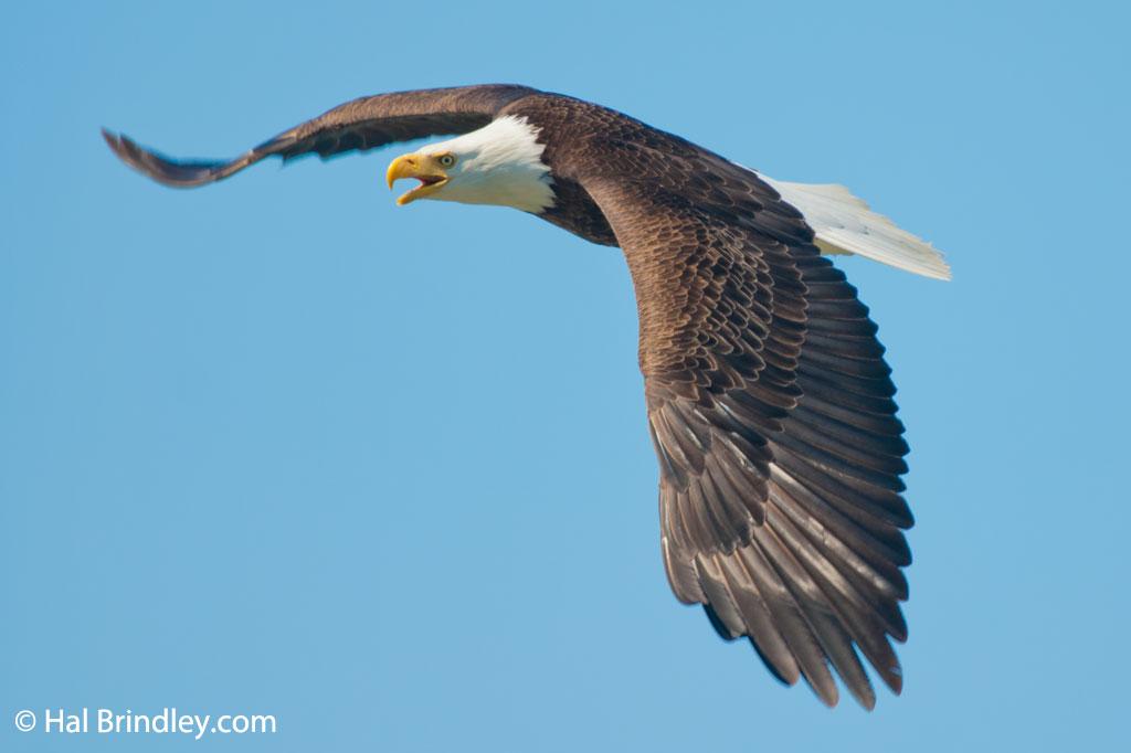 America's national bird, the bald eagle.