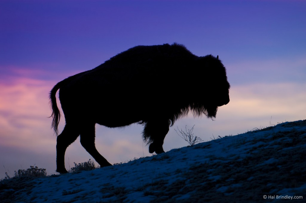 Spend time with North America's largest land animal, the Bison, in Yellowstone National Park.