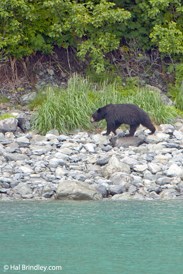 "The ""Spirit Bear"" is actually a black bear with a white fur."