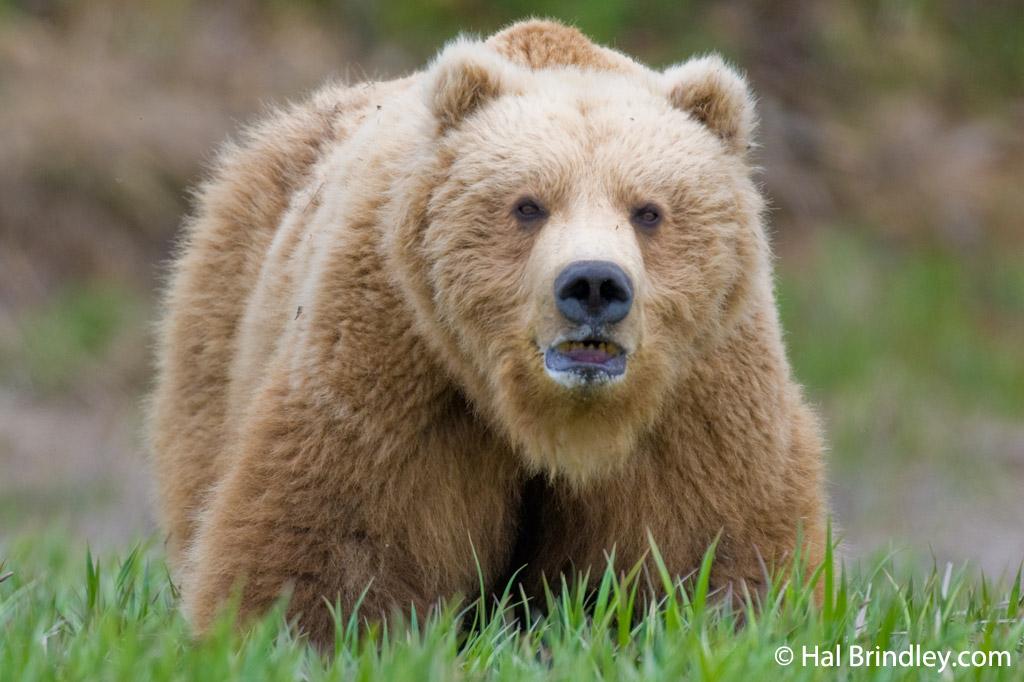 A Brown Bear at McNeil River, Alaska
