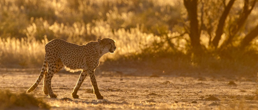 A cheetah in the Kalahari