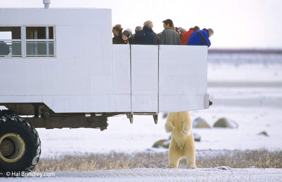Polar bear encounters in Churchill