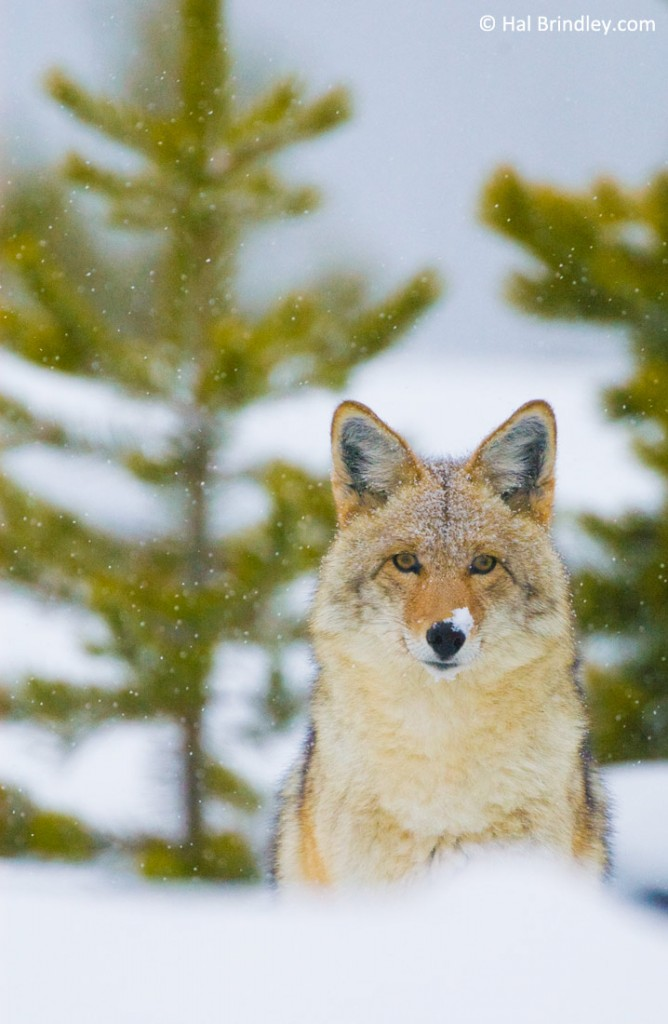 Wolves aren't the only predators in Yellowstone. It's also a great place to watch Coyotes.
