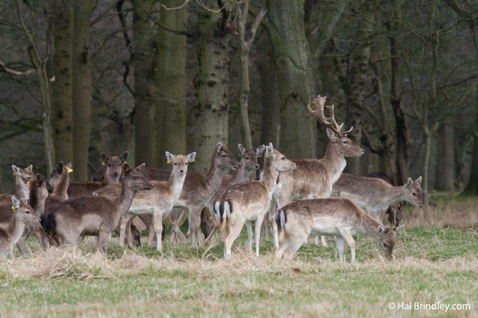 A four hundred deer herd live in the Phoenix Park