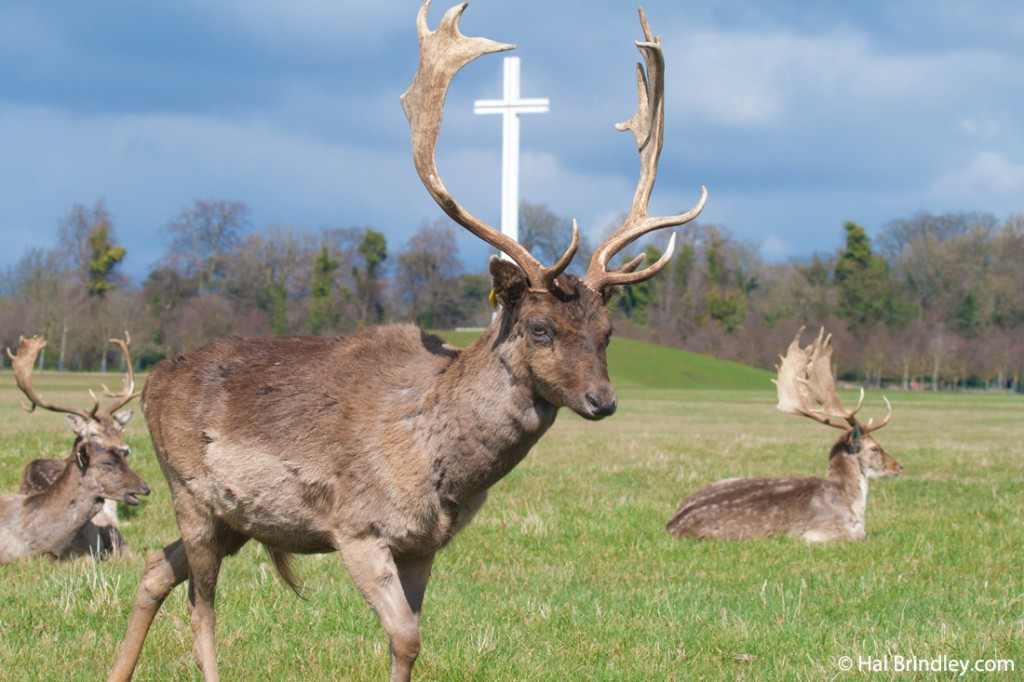 Deer like to gather on the meadow next to the Papal Cross