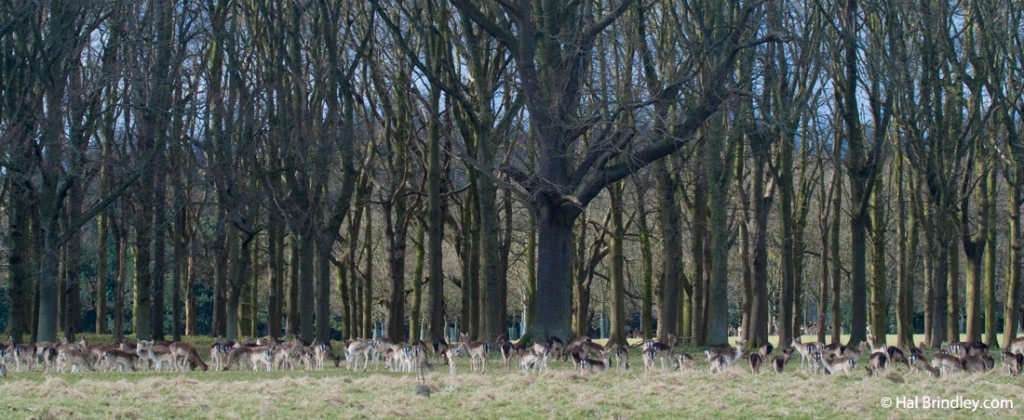 Phoenix Park forest and deer