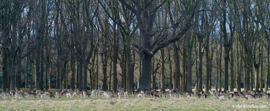 Deer are dwarfed by the tall forest