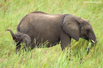 Baby elephants often communicate with squeals