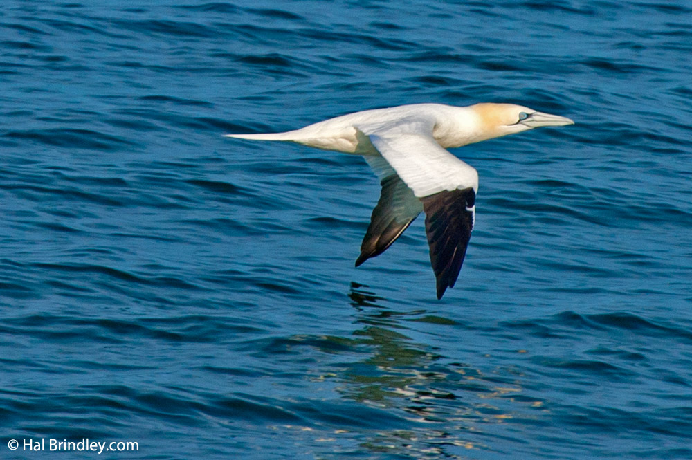 A large gannet colony lives off the coast of Avalon