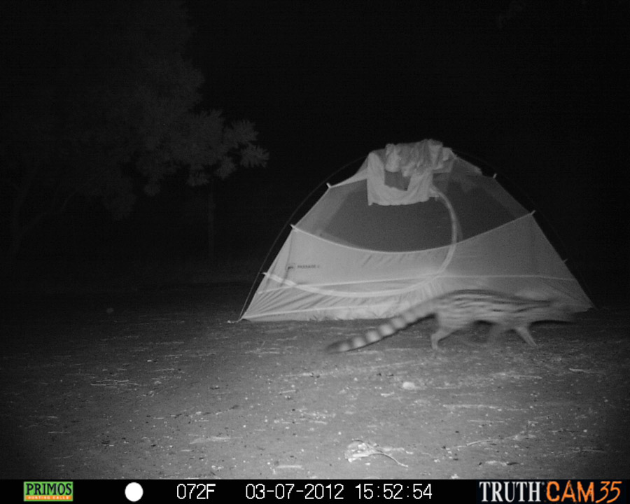 Genet walking by our tent