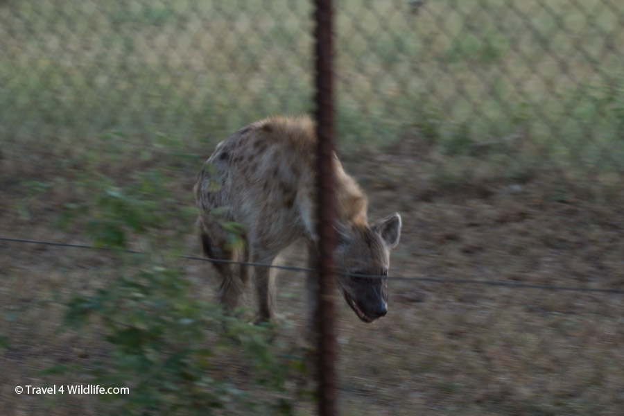 Spotted hyena by the fence at Satara camp