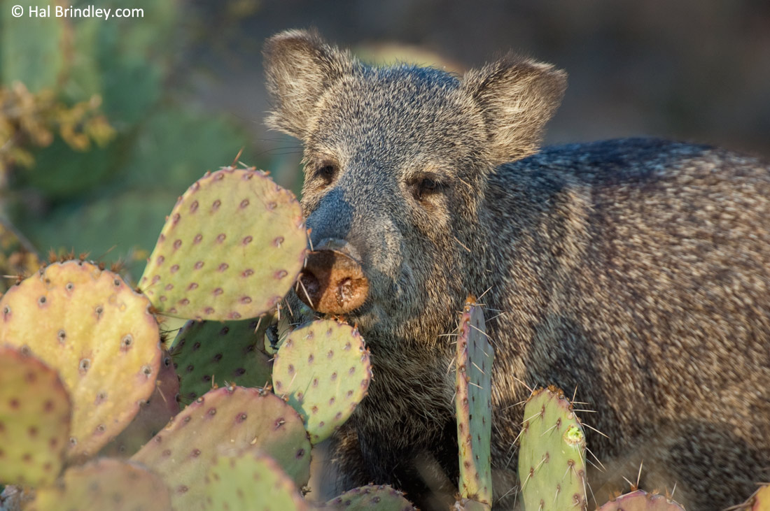 Watch Javelina's munch cactus in the Sonoran Desert of Arizona.
