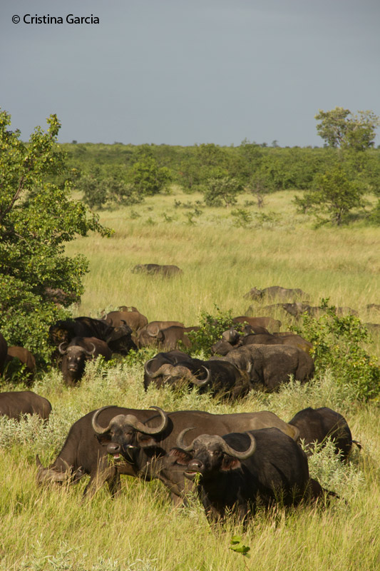Buffalo herds are common sight