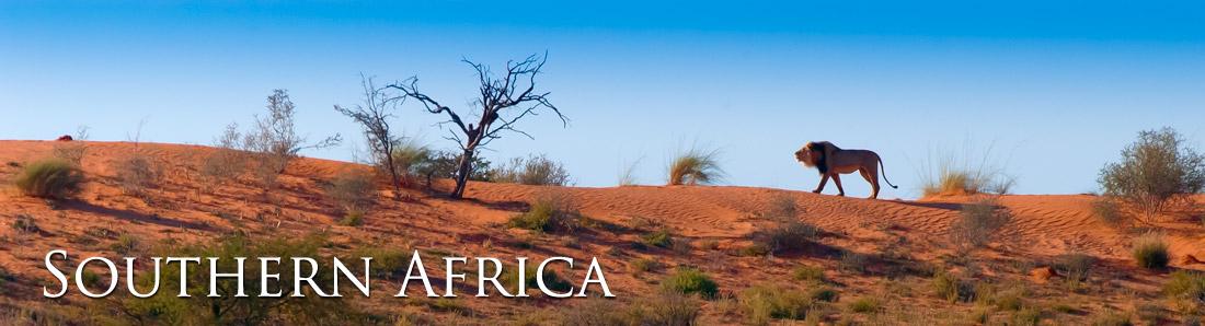 Lion roaring in the Kalahari