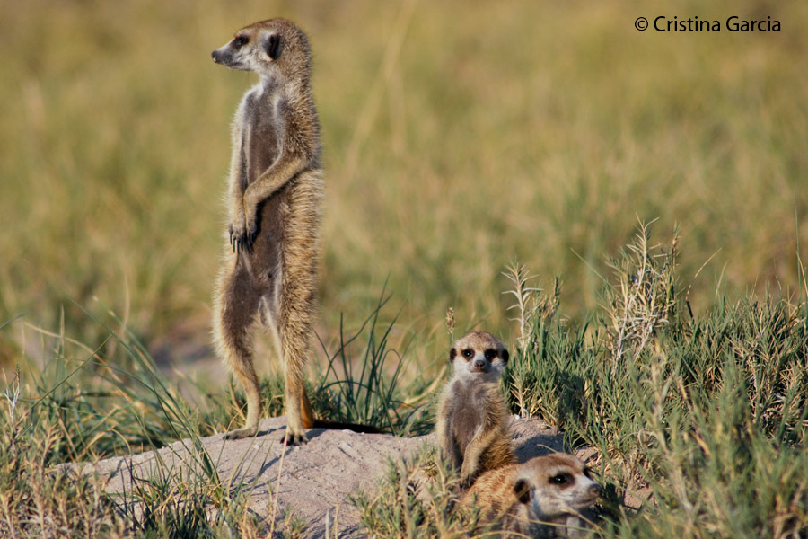 Meerkats in the Kgalagadi