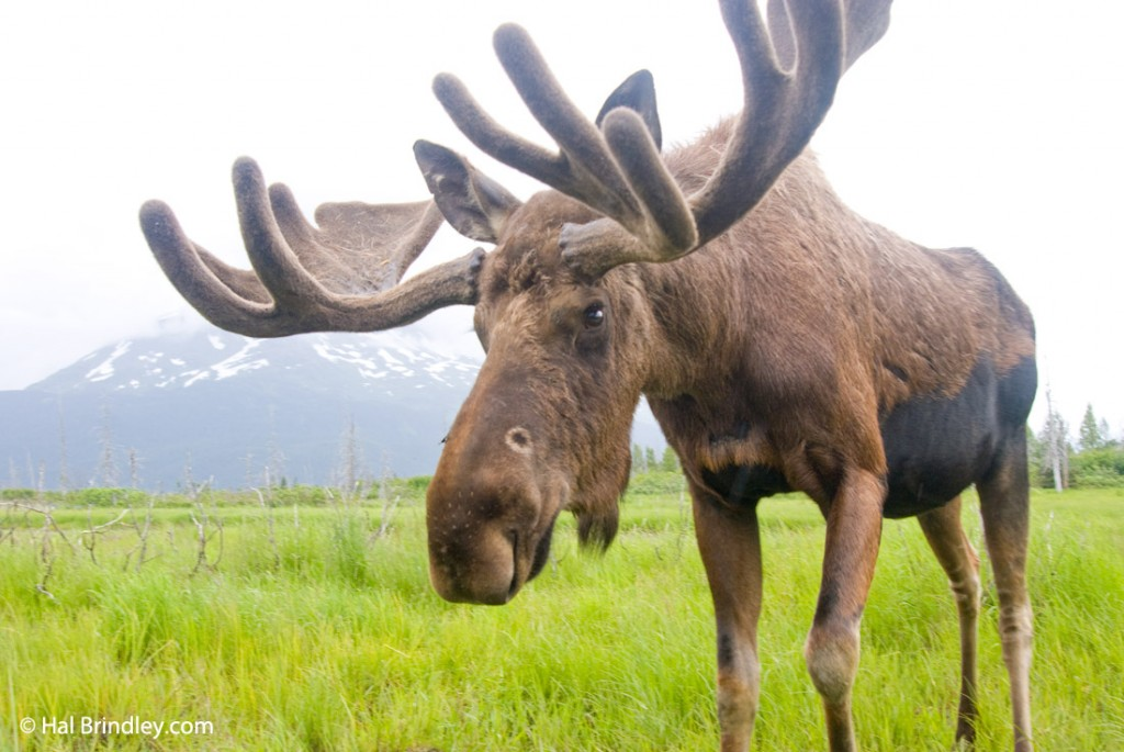 Moose roam free in Prince Albert NP wilderness